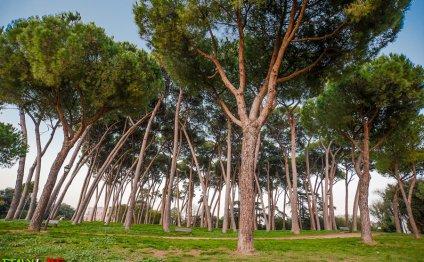 Пинии на Вилла Боргезе в Риме